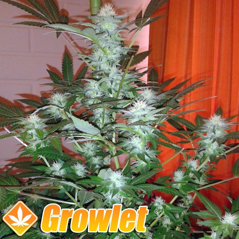 AUTO Jack Herer semillas feminizadas de cannabis