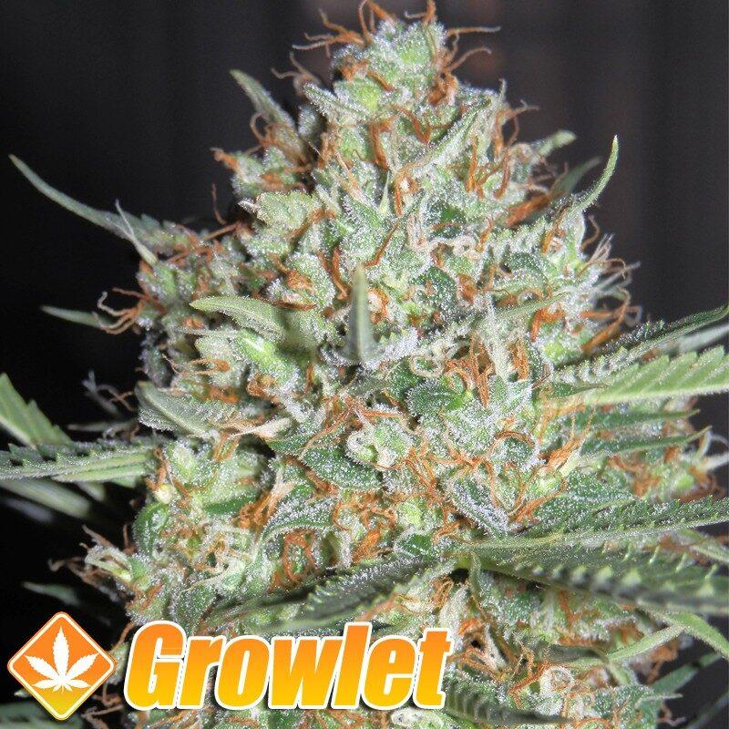 AUTO White Widow semillas de cannabis feminizadas