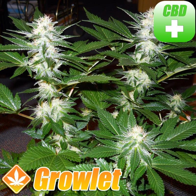 Nebula CBD semillas feminizadas de cannabis