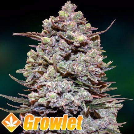 Cookies Kush semillas feminizadas de cannabis