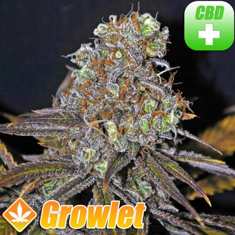 CBD Critical Cure semillas feminizadas de cannabis
