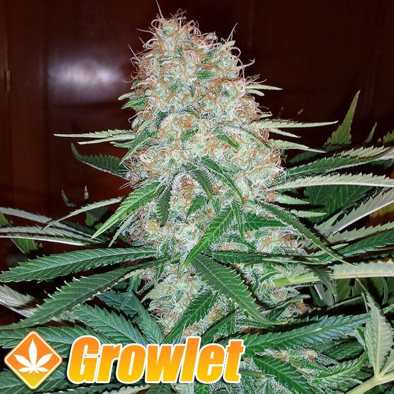 Skunk semillas feminizadas de cannabis