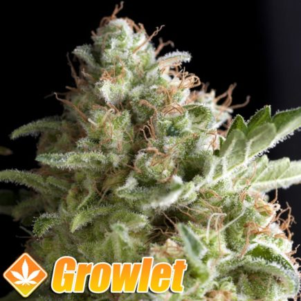 American Pie semillas feminizadas de cannabis