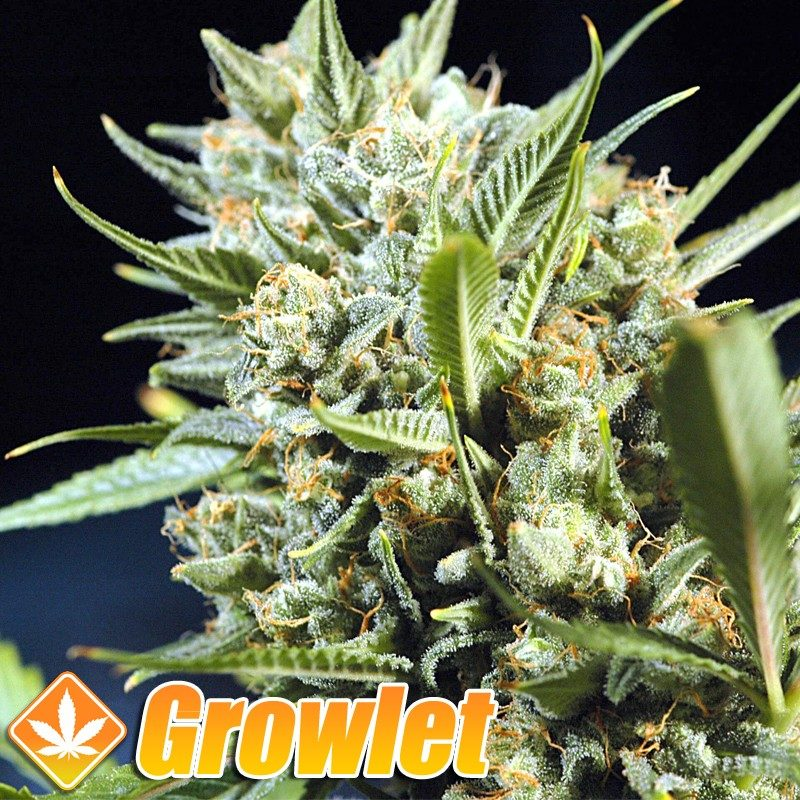 Matanuska Tundra semillas feminizadas de cannabis
