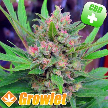Critical Mass CBD semillas feminizadas de cannabis