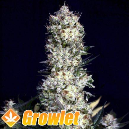 Rittus Haze semillas feminizadas de cannabis