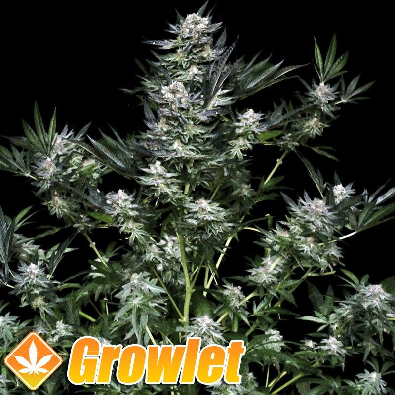 Critigal + semillas feminizadas de cannabis