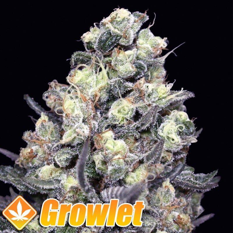 Nordes semillas feminizadas de cannabis