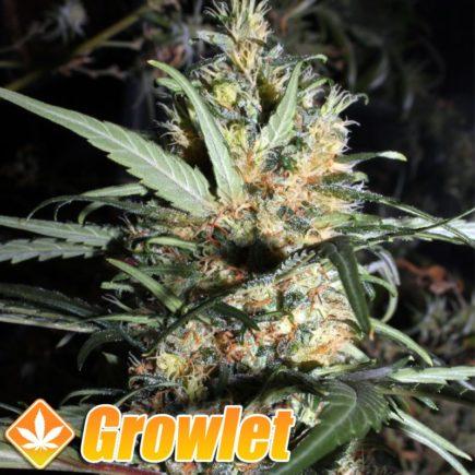 Comecocos semillas feminizadas de cannabis
