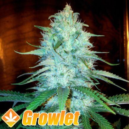 AUTO Amnesia semillas feminizadas de cannabis