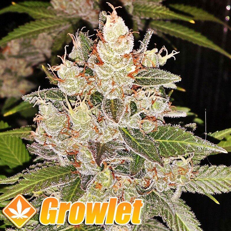 AUTO Sour Diesel semillas feminizadas de cannabis