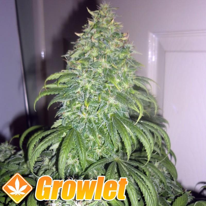 AUTO Super Bud semillas feminizadas de cannabis