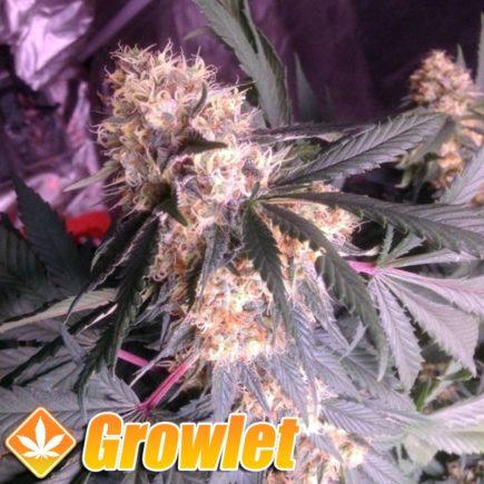 Amnesia Haze semillas feminizadas de cannabis