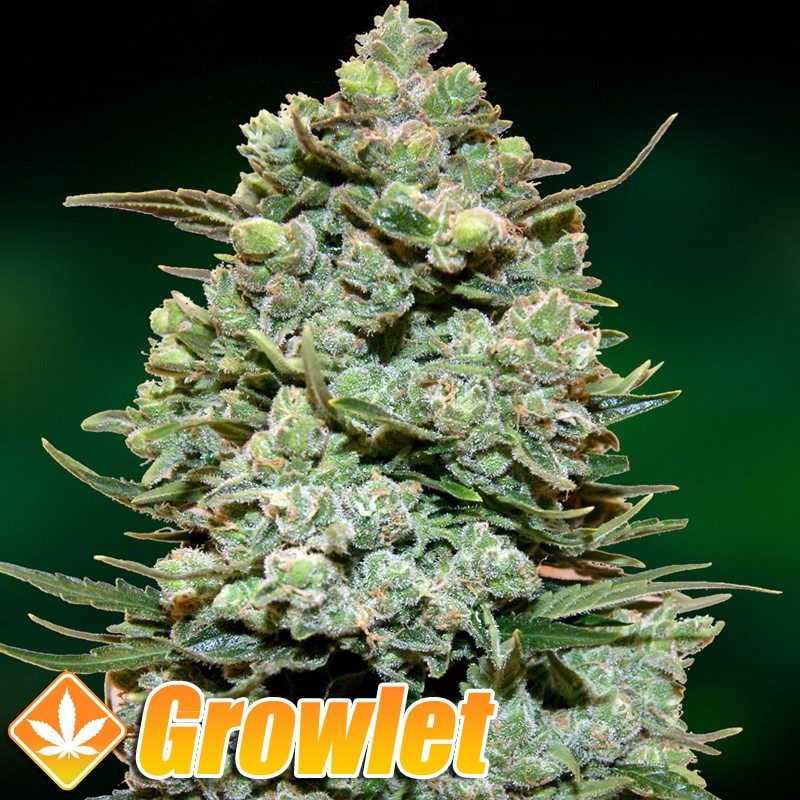 Rollex Og Kush semillas feminizadas de cannabis