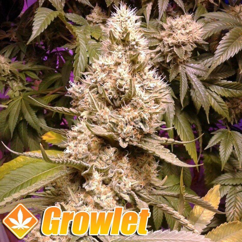 Bubblegum semillas feminizadas de cannabis