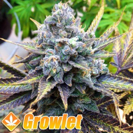 Jack Herer semillas feminizadas de cannabis