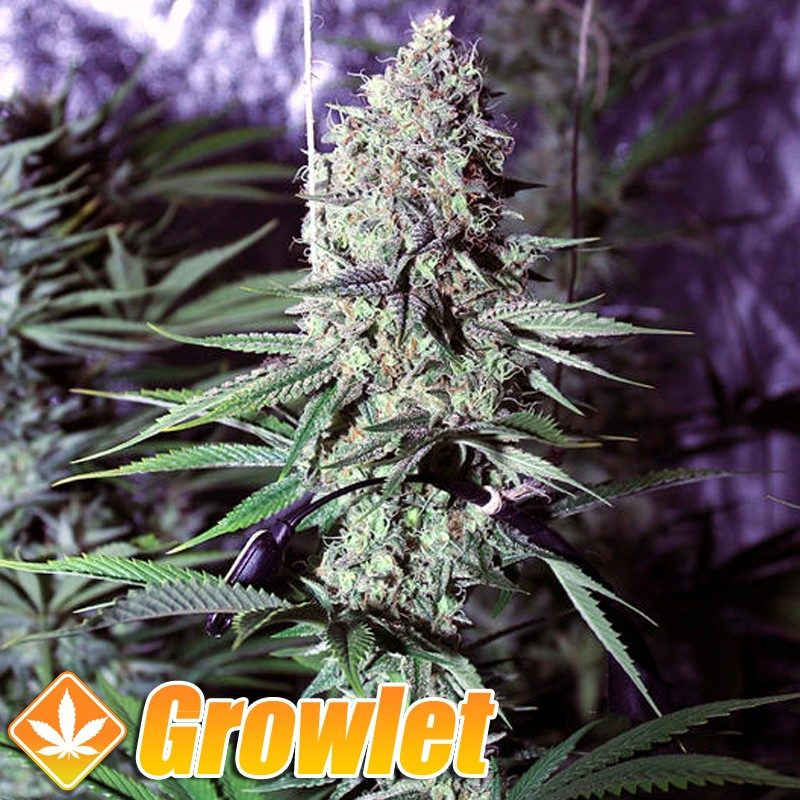 Ghost Train Haze 1 semillas feminizadas de cannabis