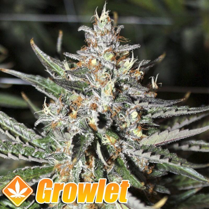 Moonshine Ghost Train semillas feminizadas de cannabis