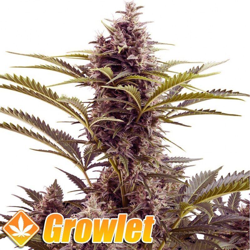 Vesta AUTO semillas feminizadas autoflorecientes de cannabis