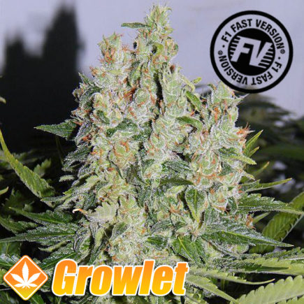 Semillas feminizadas Cream Mandarine Fast Version de Sweet Seeds