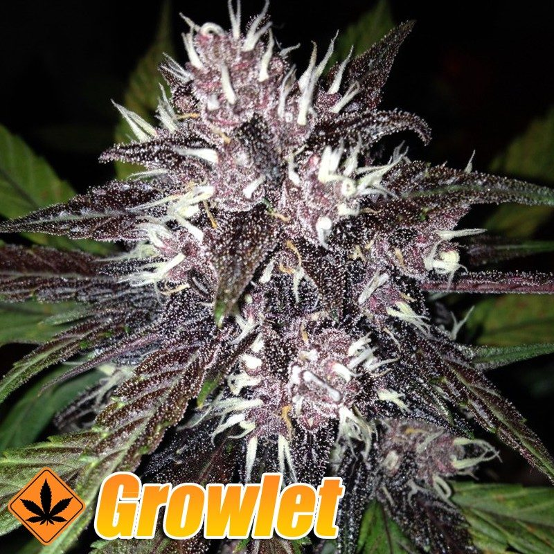 Black Cream semillas feminizadas autoflorecientes (Sweet Seeds)