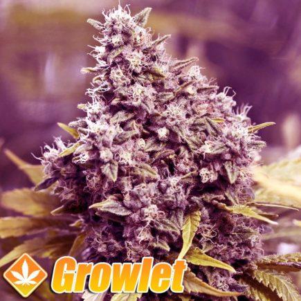 Grapefruit semillas feminizadas de cannabis