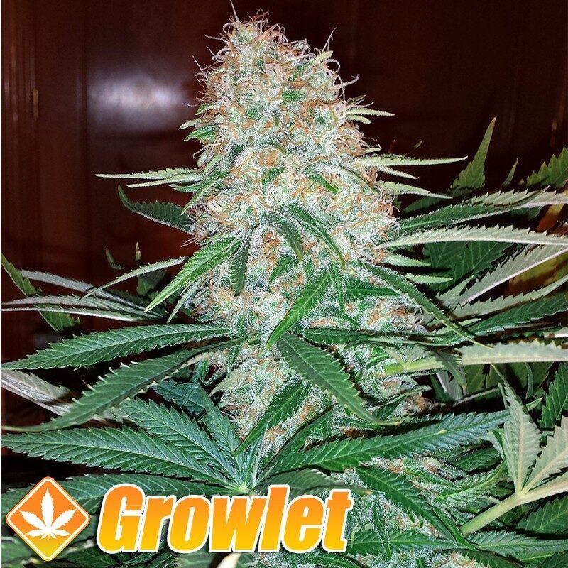 Skunk 1 semillas feminizadas de cannabis