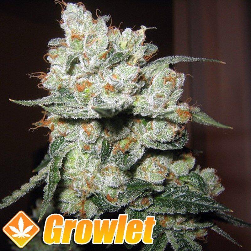 Skunk 11 semillas feminizadas de cannabis
