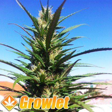 Queen Mother (Reina Madre) semillas regulares de cannabis