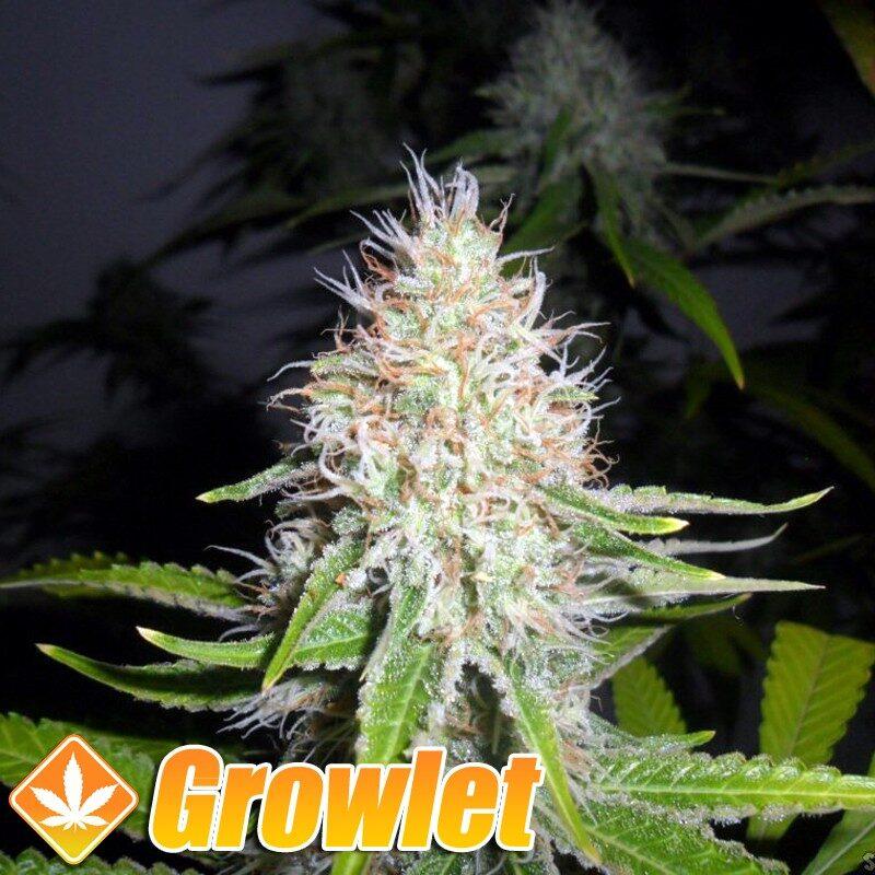 Melon Gum semillas feminizadas de cannabis de Dr. Underground