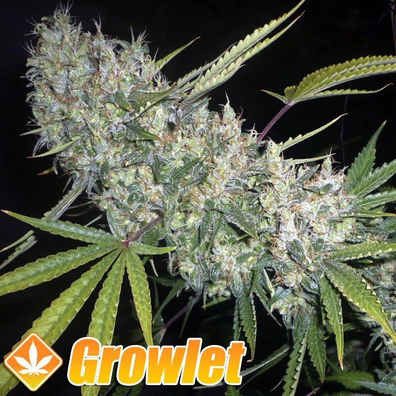 Kritikal Bilbo semillas feminizadas de cannabis de Genehtik