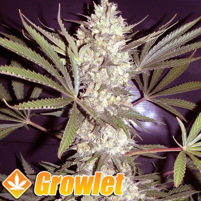 Cheese semillas feminizadas de cannabis de Big Buddha Seeds
