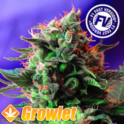 Semillas feminizadas Jack 47 Fast Version Sweet Seeds