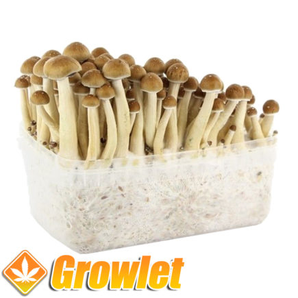 kit-pan-cultivo-setas-golden-teacher