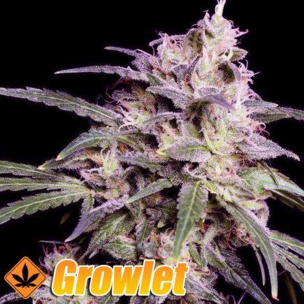 Crystal Candy Semillas Feminizadas de Cannabis
