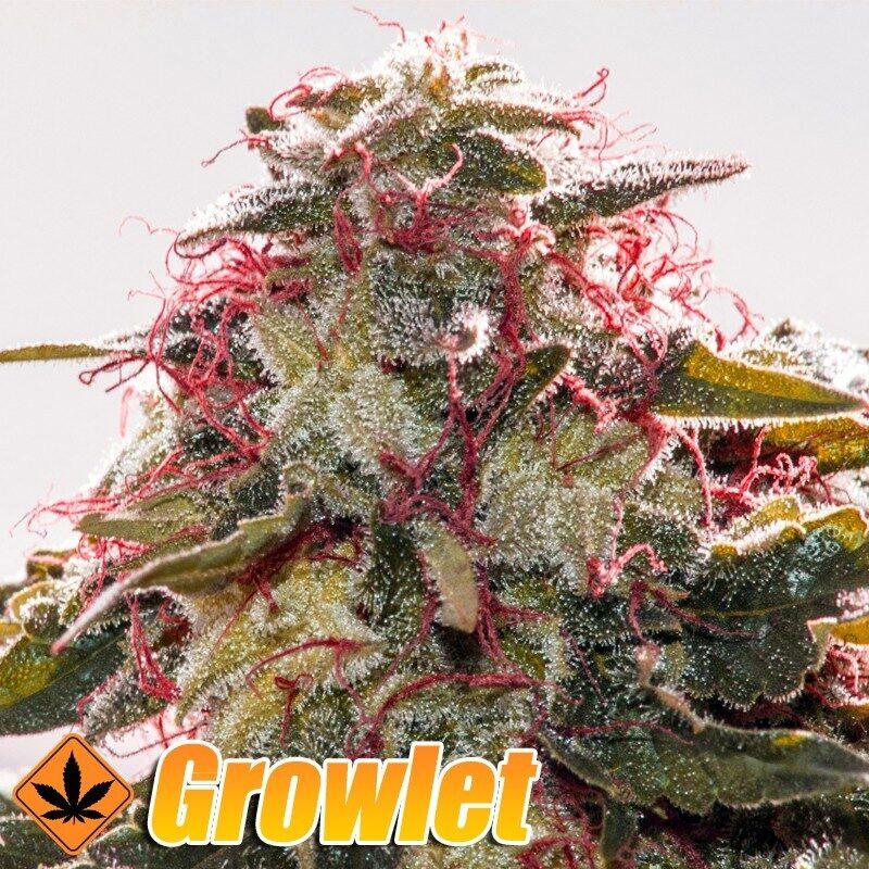 Belladonna semillas feminizadas de cannabis