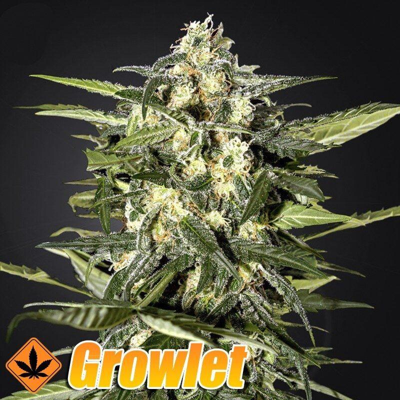 Jack Herer semillas feminizadas autoflorecientes de cannabis