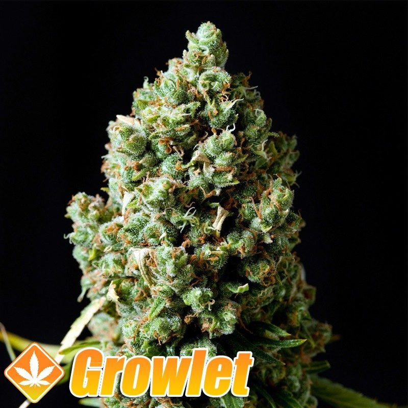 Critical Kush semillas feminizadas de cannabis