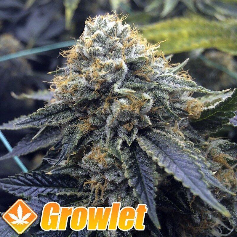 Mango Sapphire semillas feminizadas de cannabis