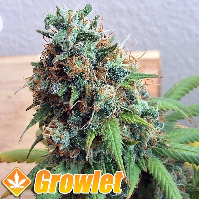 Green Crack semillas feminizadas de cannabis
