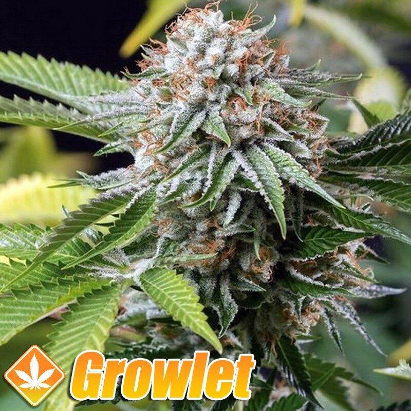 Dedoverde Haze semillas feminizadas de cannabis