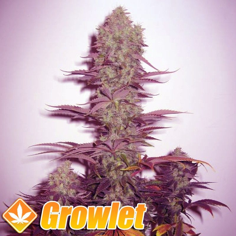 Qleaner semillas regulares de cannabis