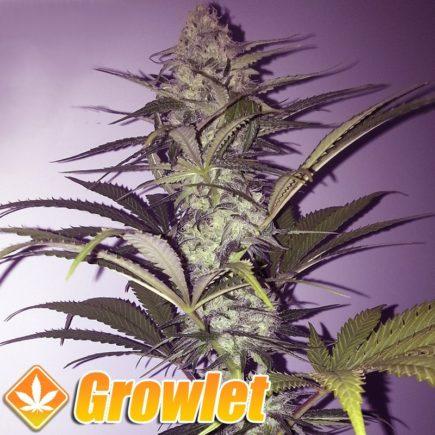 California Hash Plant semillas feminizadas de cannabis