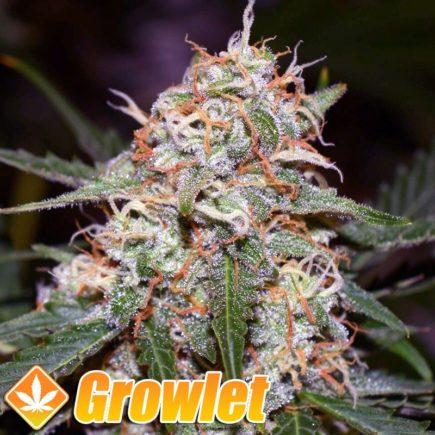 Glueberry OG semillas feminizadas de cannabis