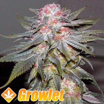 Passion Fruit semillas feminizadas de cannabis