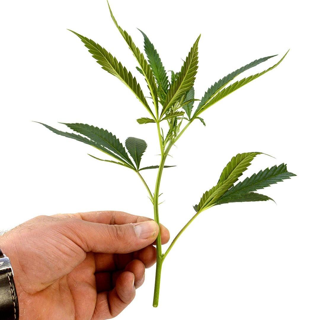como-hacer-esquejes-cannabis-4