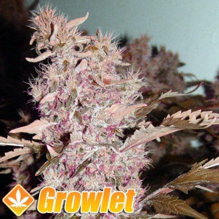 Bubble Gum semillas feminizadas de cannabis