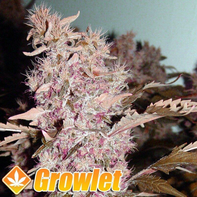 Bubble Gum semillas regulares de cannabis