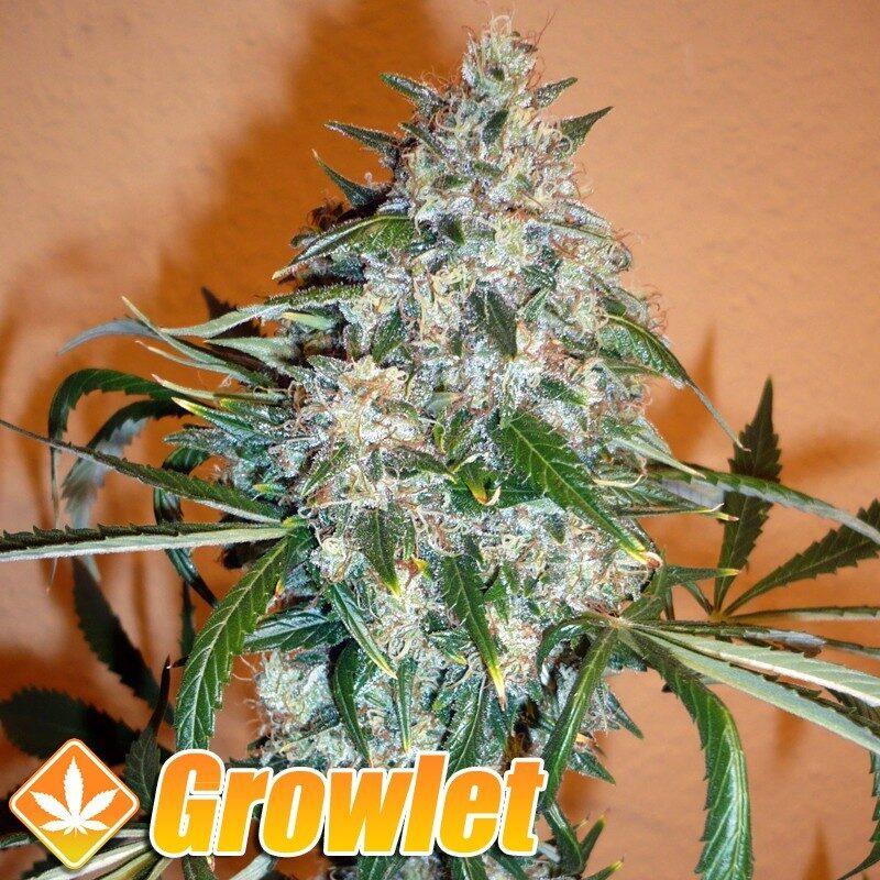 Kali Mist semillas regulares de cannabis