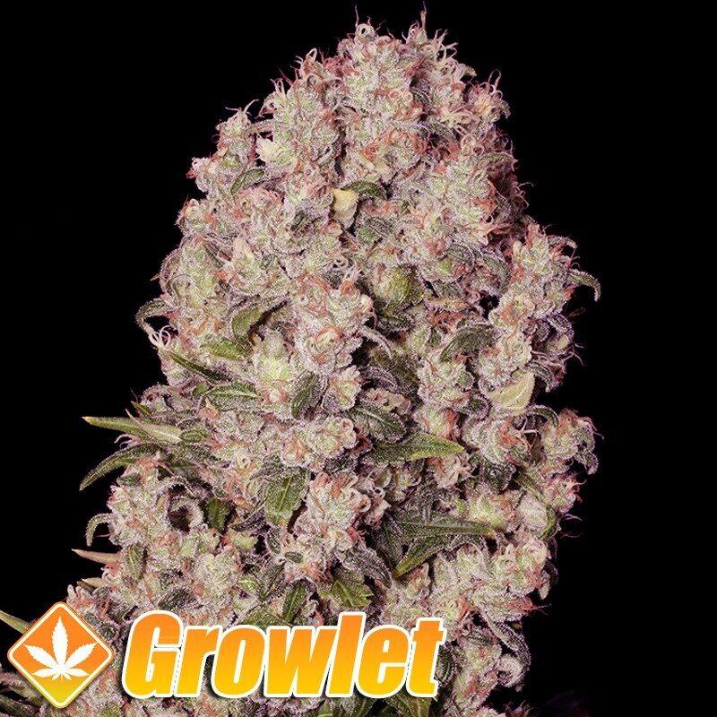 White Russian semillas regulares de cannabis